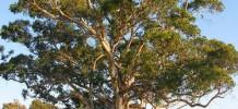 Eucalyptus Blue Gum Essential Oil, 10ml