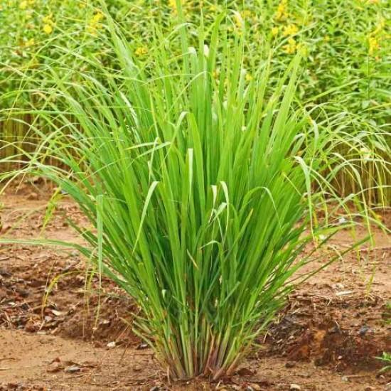 Lemongrass Essential Oil, 10ml