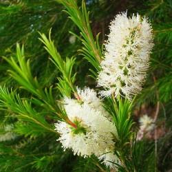 Tea Tree Essential Oil, 10ml