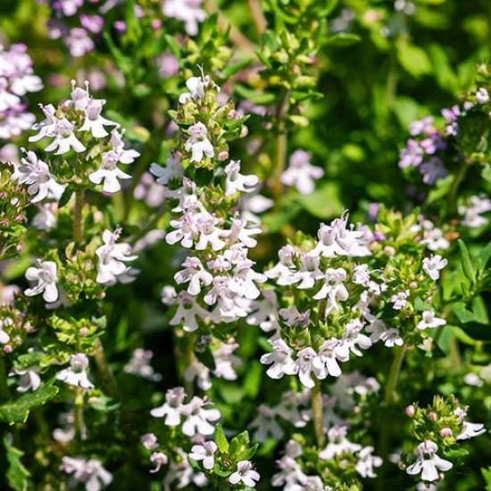 Thyme White Essential Oil, 10ml