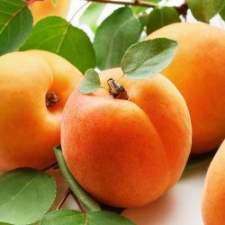 Apricot Fragrance Oil, 30ml