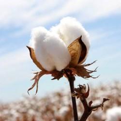 Egyptian Cotton Type Fragrance Oil
