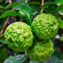 Kaffir Lime Fragrance Oil