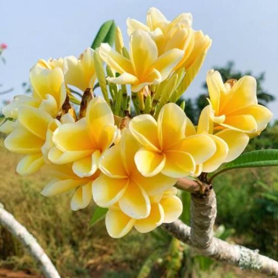 Plumeria (Frangipani) Fragrance Oil