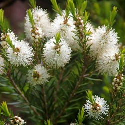 Tea Tree Fragrance Oil