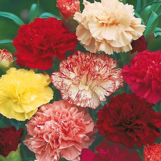 Carnation Fragrance Oil