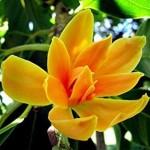 Champa õied aroomiõli, 30g