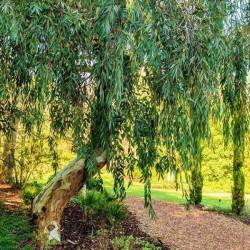 Eucalyptus Fragrance Oil, 30ml