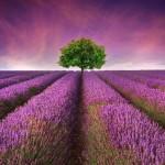 Prantsuse lavendel aroomiõli, 30g