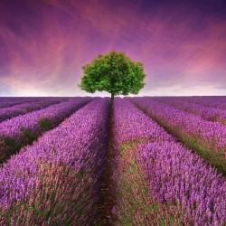 French Lavender Fragrance Oil, 30ml