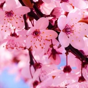 Jaapani kirsiõied aroomiõli, 30g