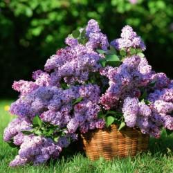 Lilac Fragrance Oil, 30ml