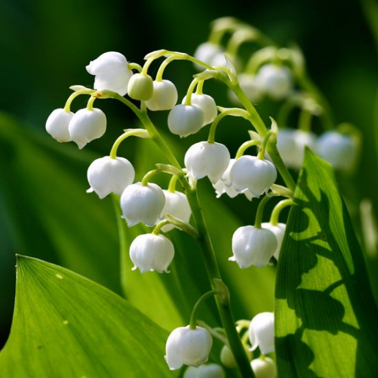 Lily of the Valley Fragrance Oil, 30g
