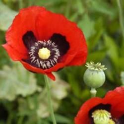 Opium Type Fragrance Oil
