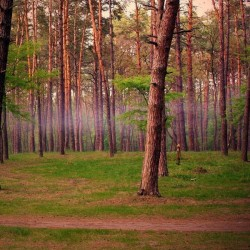 Pine Forest Fragrance Oil
