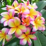 Plumeeria (frangipani) aroomiõli, 30g