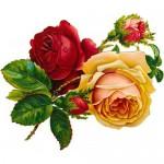 Victoria roos aroomiõli, 30g